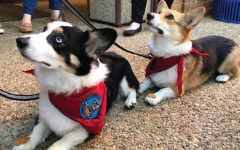 corgis visit on Wellness Wednesdays